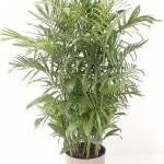 Seifrizii Palm