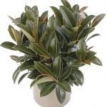 Ficus Decora (Rubber Plant)