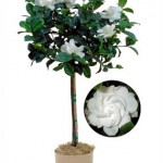 Gardenia (Seasonal)