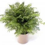 Neatha Bella Palm
