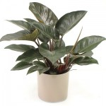 Philodendron (Red Princess, Moon Glow)