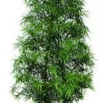 Podocarpus Collumn