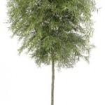 Podocarpus Std