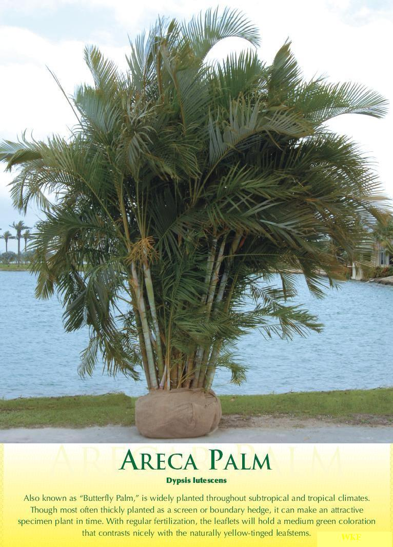 Areca Palm Tree Arecapalm1
