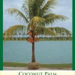 coconutpalm1