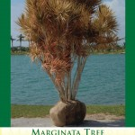 marginata1