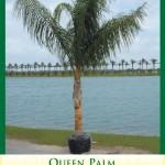 queenpalm1
