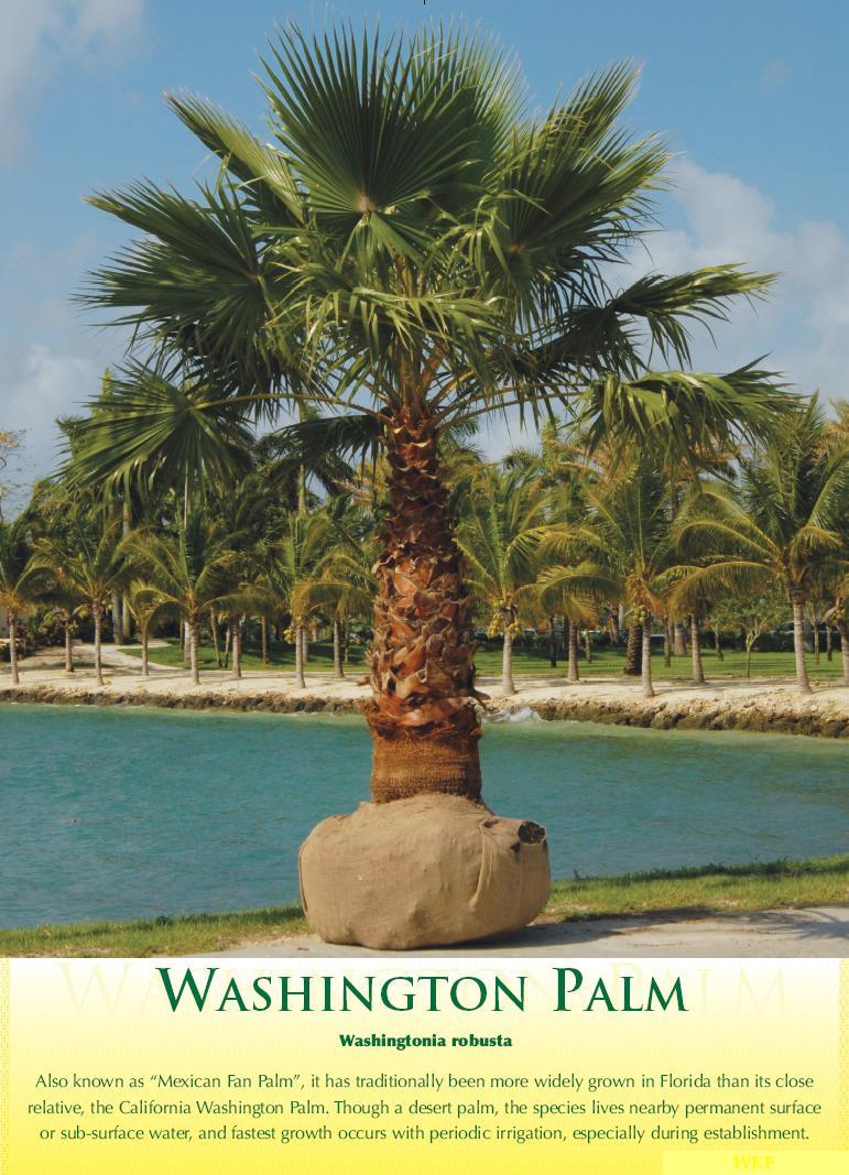 washingtonpalm1 | Walter Knoll Florist Commercial Service ...