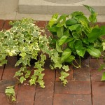 Low Vining Ivy / Potho