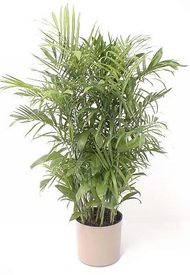 Chamaedorea palm wk landscapes saint louis missouri - Interior plant maintenance contract ...