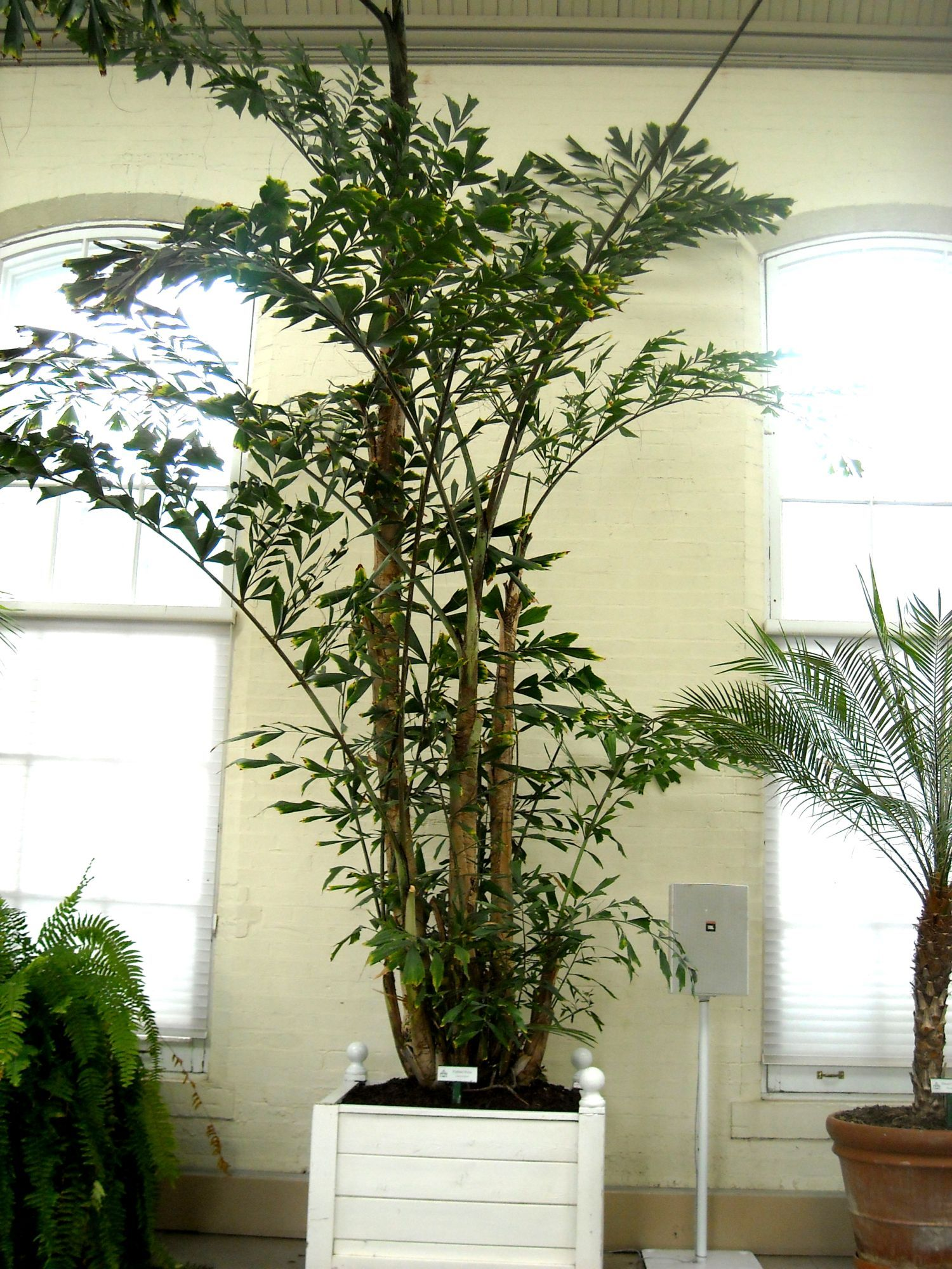 Palm piper house walter knoll florist client exotic palm for Pictures of indoor palm plants