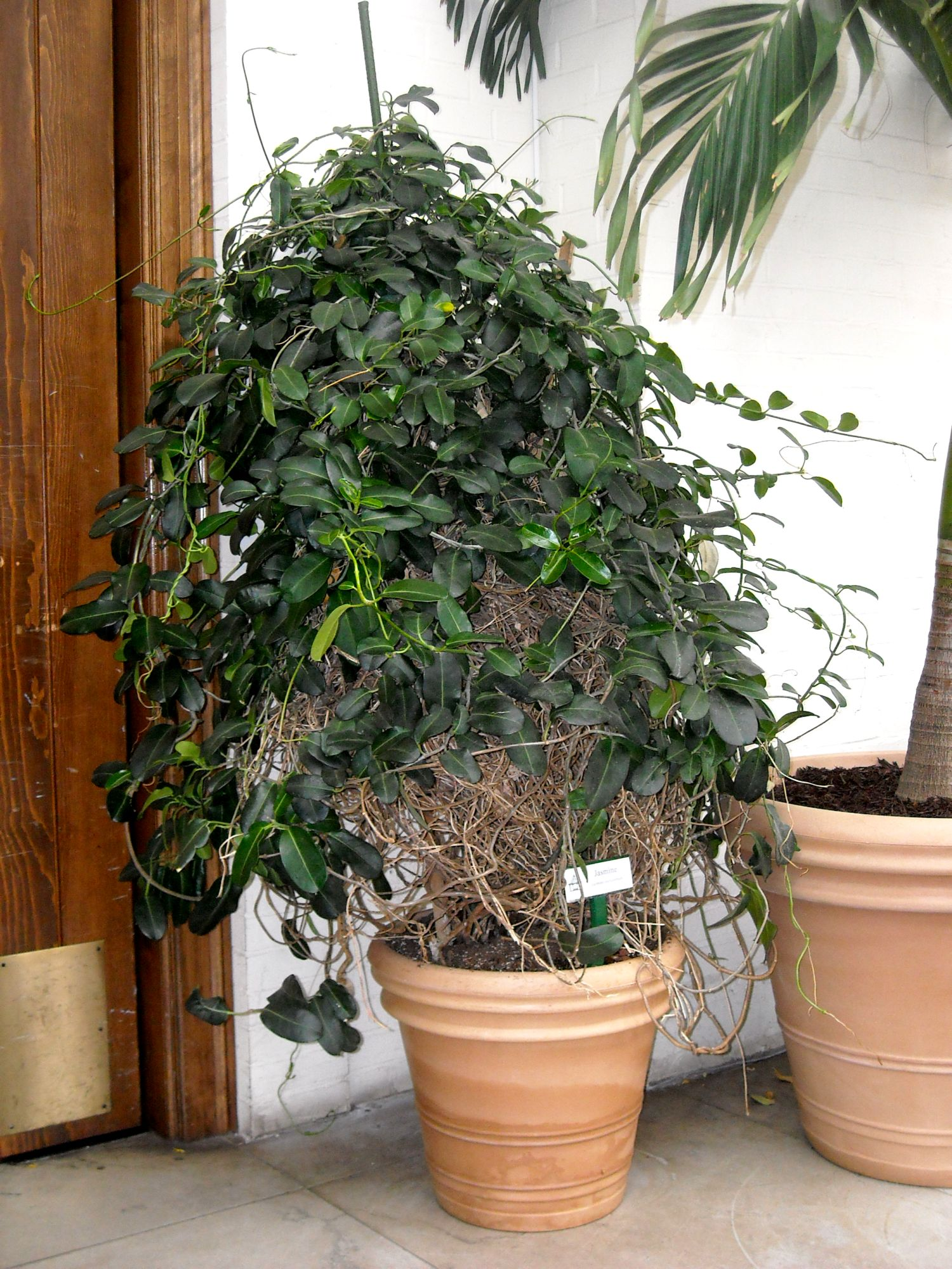 dscn0577 Palm Type Plants Common House on palm names types, short palm trees types, office plant types, palm tree plant types, house cactus types, phoenix palm trees types, potted house plants types, indoor houseplants types, house ferns types,