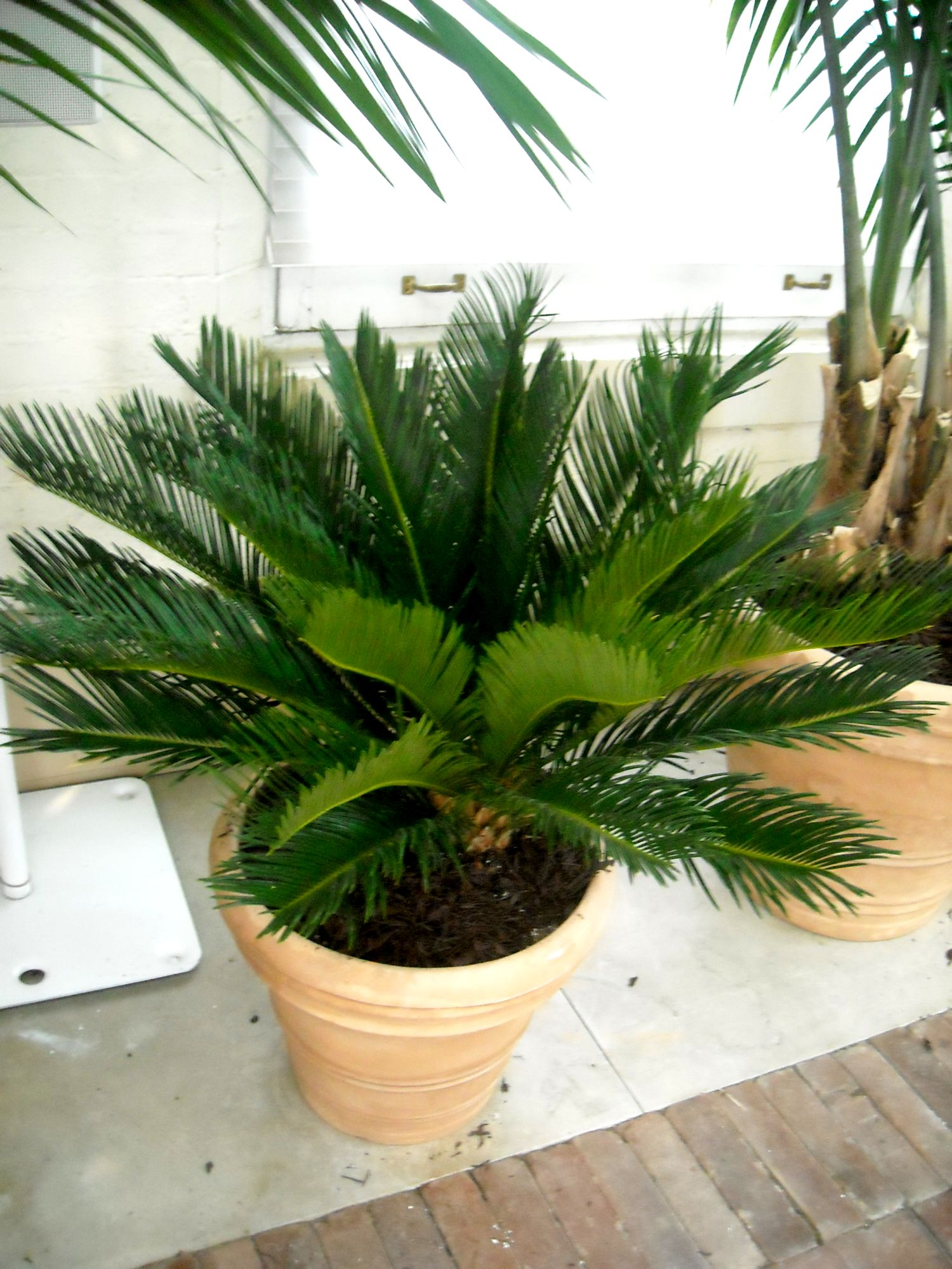 dscn0741 Types Of Tree Palm House Plant List on house plant umbrella tree, indoor palm plants types, like palm plants types, house with palm trees, dracaena house plant types, house plants that look like trees, lady palm tree types, house plant schefflera actinophylla, indoor ponytail palm tree types, small indoor palm tree types, identify tree types, house plants palms identify, house plants at lowe's, house plant rubber tree, south florida palm tree types, double trunk palm tree types, home plants types, house plant banana tree, palm names types,